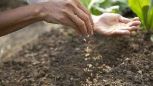 Semis de plantes médicinales