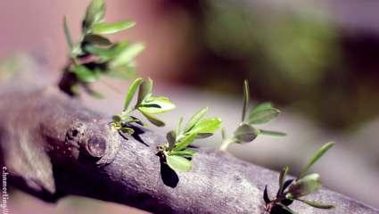 Gemmothérapie : de l'olivier pour une mémoire vive