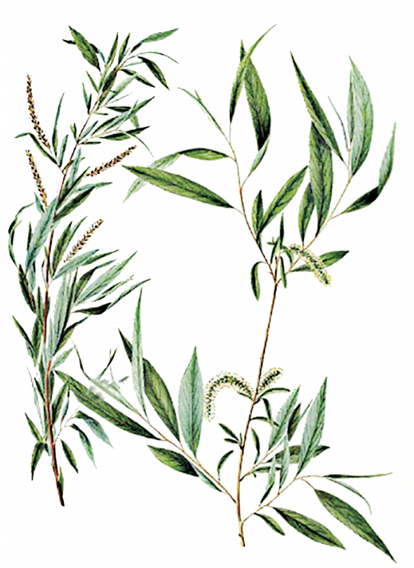 Willow (Salix Vitellina)