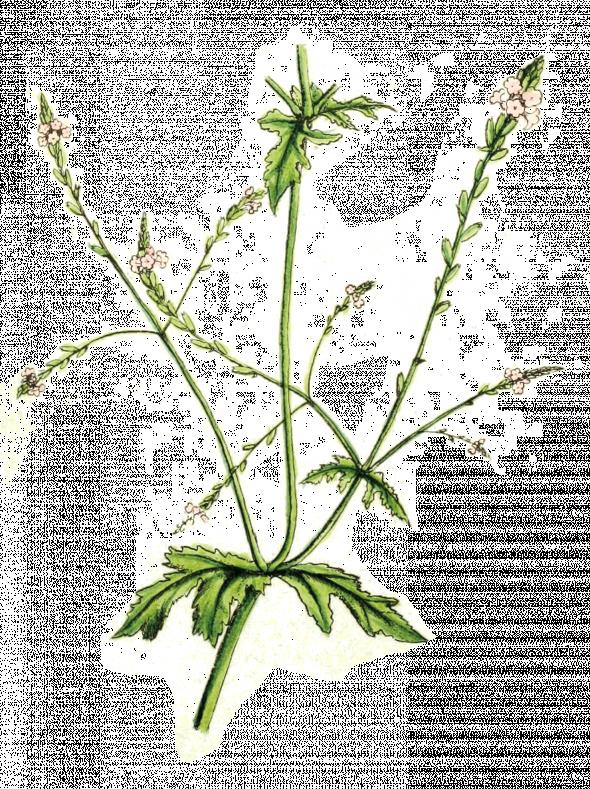 Vervain (Verbena Officinalis)