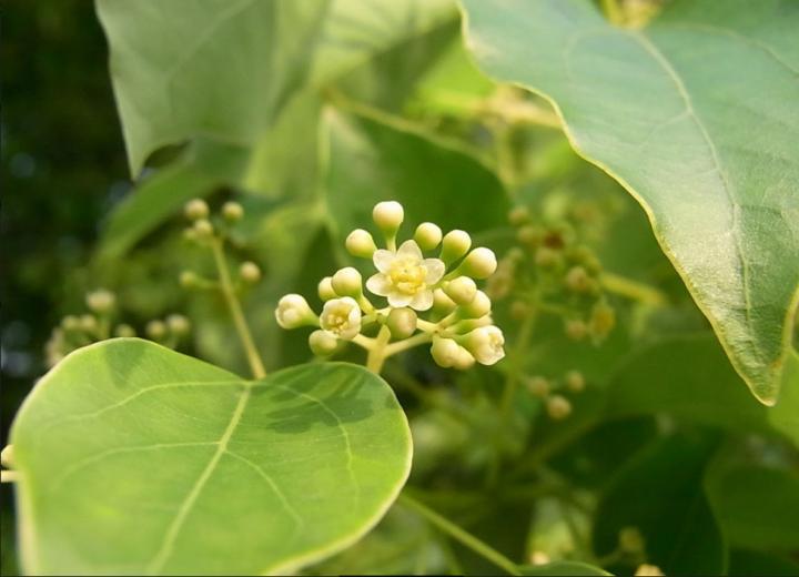 Cinnamomum camphora