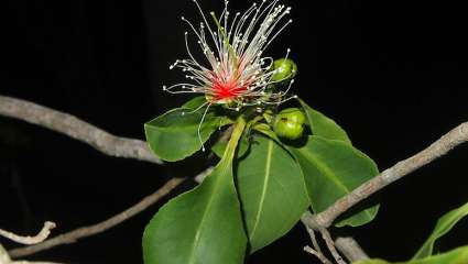 Planchonia careya flower