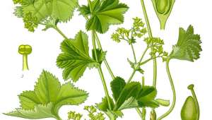 Alchémille, Alchemilla vulgaris