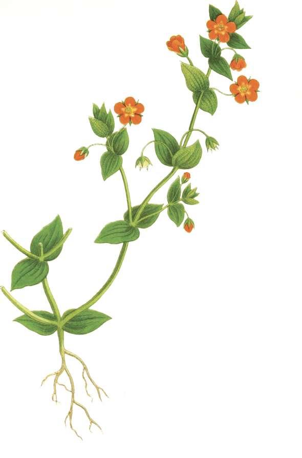 Mouron des champs (anagallis arvensis)