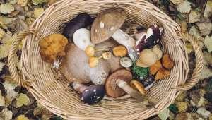 Boletus aereus, cèpe bronzé