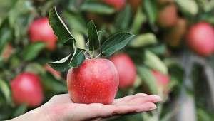 Pomme chimique