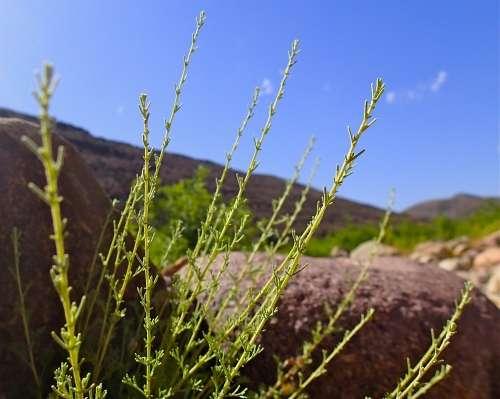 Artemisia herba alba