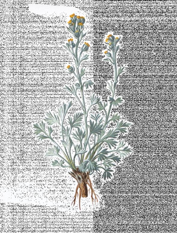 Génépi blanc (artemisia umbelliformis)