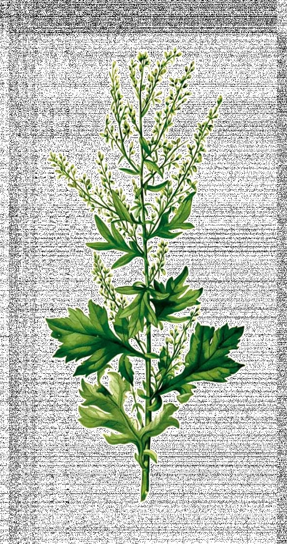 Armoise vulgaire (artemisia vulgaris)