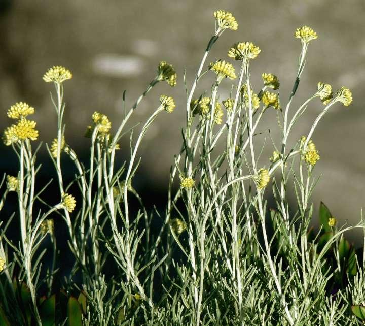 Plantes pour soigner les hémorroïdes