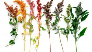 quinoas