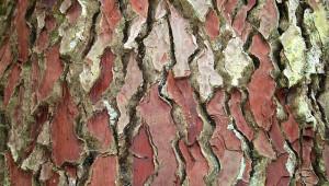 Les nombreuses vertus de l'extrait d'écorce de pin