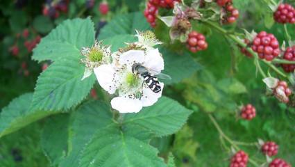 La ronce ou Rubus fruticosus