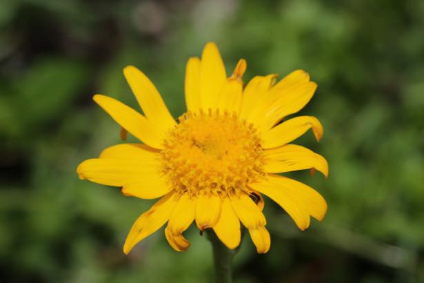 L'Arnica montana possède des propriétés cicatrisantes, mais aussi anti-inflammatoires.