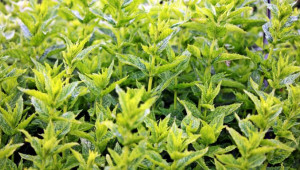 Tout le monde connaît les vertus rafraîchissantes de la menthe. Toutes les menthes ont cependant en commun bien d'autres propriétés.