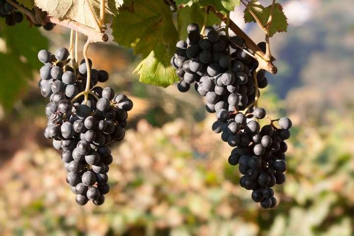 Plus le raisin est foncé et plus il serait riche en vitamines, minéraux et surtout en pigments protecteurs.