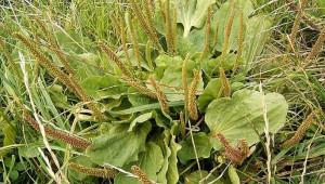 Attention : l'allergie au pollen des plantains, qui est l'une des plus courantes, peut donner lieu à une manifestation de type rhume des foins.