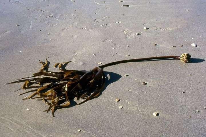 Les algues, notamment la laminaire nordique, sont  excellentes pour l'estomac car elles contiennent des alginates.