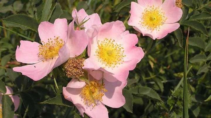 Pour soutenir la convalescence, plusieurs plantes, à la fois toniques et immunostimulantes, rendront son efficacité optimale.