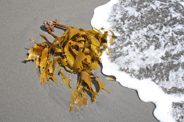 Les feuilles fraîches peuvent aussi être utilisées en cataplasme sur les zones de cellulite.