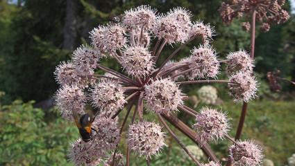 La graine d'Angélique sylvestre pilée a été utilisée pour éliminer les poux.