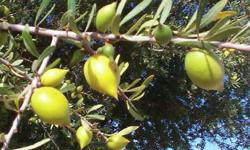 L'huile d'argan : une peau neuve et des artères jeunes