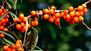 L'argousier, antioxydant et tonifiant