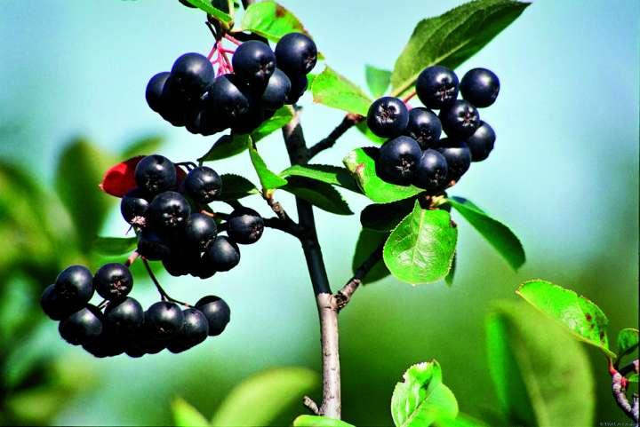 """Résultat de recherche d'images pour """"baies fruits"""""""