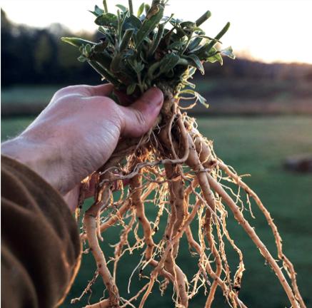 L'ashwagandha : une plante ayurvédique contre le stress - Plantes ...
