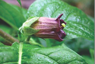 Atropa belladonna : la belle vénéneuse des homéopathes