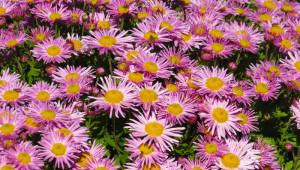En cas de cataracte, vous pouvez soulager votre foie en ayant recours au chrysanthème.