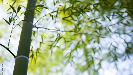 bambou, Phyllostachys viridiglaucescens