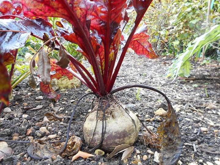 La betterave a besoin de peu d'eau, mais régulièrement. Ne laissez pas la terre sécher lors de fortes chaleurs.