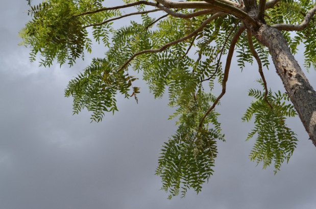 boswellia-ayurveda-plantes-et-sante.fr