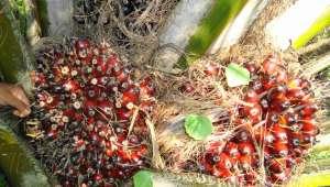 Le palmier à huile est le champion toute catégorie pour la production de matière grasse végétale : un hectare fournit environ 6000 litres par an.