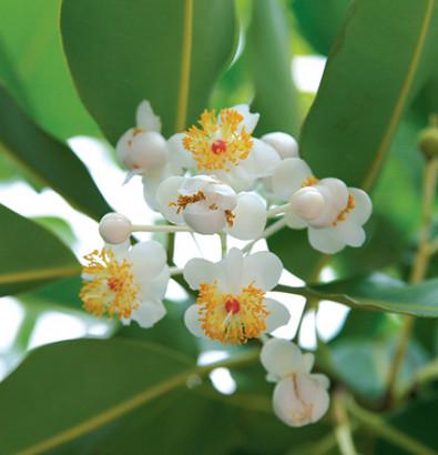 Huile de tamanu (Calophyllum inophyllum)