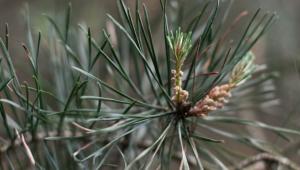 Le pin sylvestre est synonyme de force, de tonus, de voies respiratoires dégagées et de propriétés calmantes en cas de douleur.