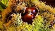 Châtaignes et marrons, des cadeaux de l'automne