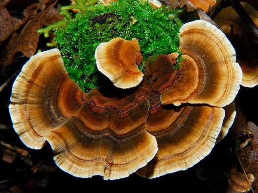 champignon coriolus versicolor