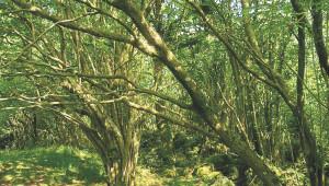 Le coudrier, arbre magique