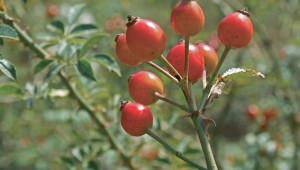 Plante médicinale : Le cynorrhodon, le fruit du froid