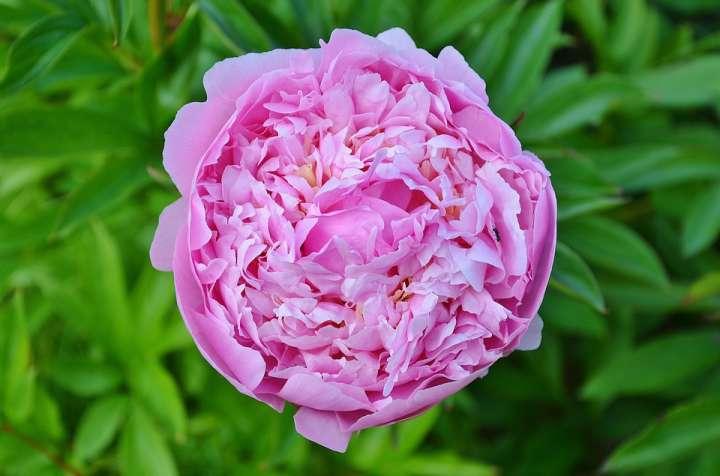 La rose de Damas, employée en collyre lutte efficacement contre les inflammations oculaires sévères et les irritations chroniques de l'œil.
