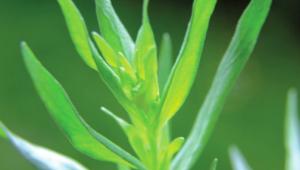 Seule ou en synergie, diluée dans une huile végétale pour un usage externe local, elle assouplit la musculature avant l'effort et apaise les crampes musculaires.