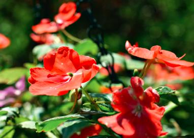 La fleur des impatients
