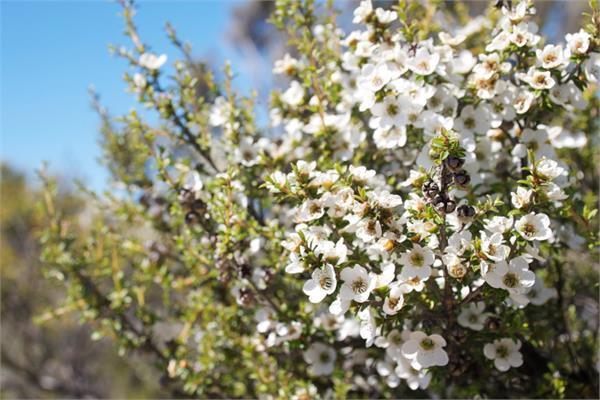 Il y a une huile essentielle qui nous plonge dans le yin et l'énergie féminine matricielle, c'est celle de fragonia.