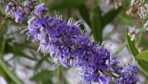 Plantes pour soulager le syndrome prémenstruel