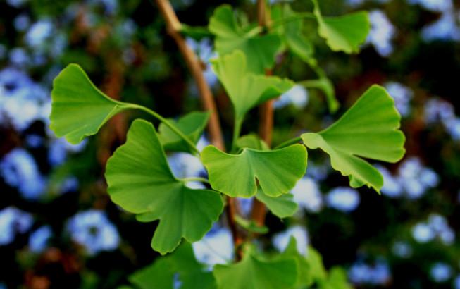 En règle générale, on récolte les feuilles de ginkgo au moment où les premières feuilles commencent à jaunir.