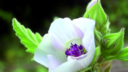 Jardiner la guimauve : plante médicinale