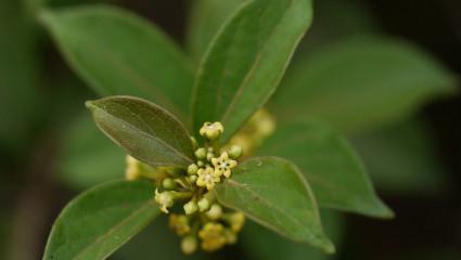gymnema-sylvestris-plantes-et-sante.fr