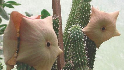Hoodia gordonii, la plante grasse qui fait maigrir